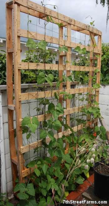 7thstreetfarms Scarlet Runner Beans